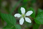 HSNP West Mt Trail Spring Dewberry