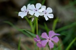 HSNP North Mt Road Pink White Phlox