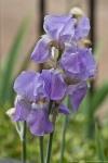 HSNP Promenade Purple Iris