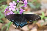 HSNP North Mt Loop Phlox Eastern Tiger Swallowtail Butterfly