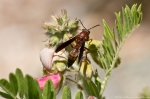 HSNP Goat Rock Trail Goat's Rue Wasp