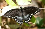 Glades Park Black Trail Spicebush Swallowtail Butterfly