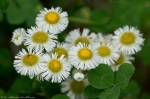 HSNP Hot Springs Mountain Road Daisy Fleabane