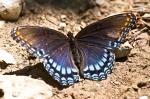Cedar Glades Park Blue Trail Red Spotted Purple Butterfly