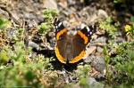 HSNP Hot Springs Mt Trail Red Admiral Butterfly