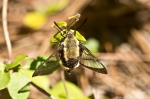 Cedar Glades Park Blue Trail Clearwing Hummingbird Moth