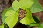Cedar Glades Park Blue Trail Hackberry Emperor