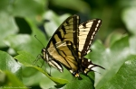 HSNP Goat Rock Trail Eastern Tiger Swallowtail Butterfly