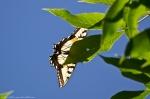HSNP Goat Rock Trail Eastern Tiger Swallowtail Butterfly