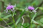 HSNP North Mt Loop Ouachita Blazing Star