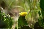 HSNP North Mt Loop Prickly Pear Cactus Flower
