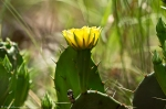 HSNP North Mt Loop Prickly Pear Cactus Flower