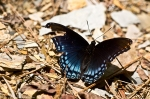 HSNP Floral Trail Spring Red Spotted Purple Butterfly