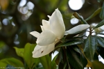 HSNP Fountain Street Lawn Southern Magnolia