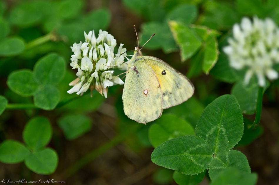 HSNP Fountain Street Orange Sulphur Butterfly