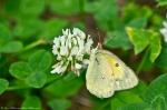 HSNP Fountain Street Orange Sulphur Butterfly