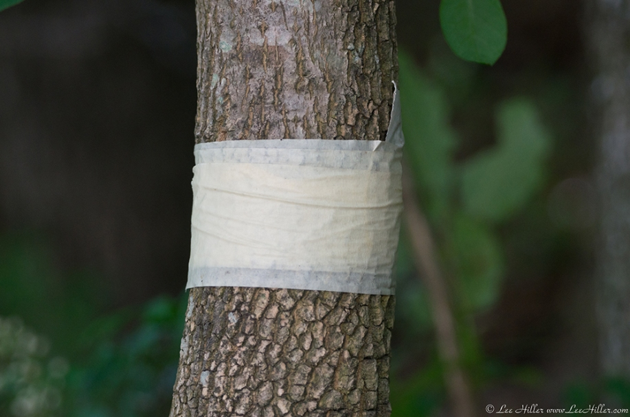 HSNP Fountain Street Tree Bandage?