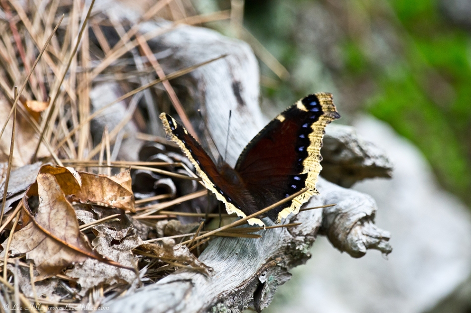 HSNP Lower Dogwood Trail Spring Mourning Cloak Butterfly