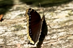 HSNP Upper Dogwood Trail Mourning Cloak Butterfly
