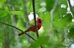 HSNP Dead Chief Trail Male Cardinal