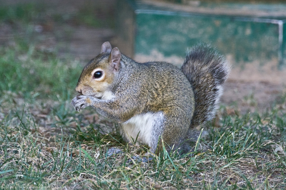 HSNP Arlington Lawn Squirrel (Bob)