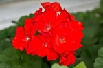 Hot Springs, AR Red Geranium