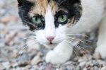 HSNP Carriage Road Feral Calico Cat