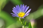 HSNP Dead Chief Trail Purple Aster