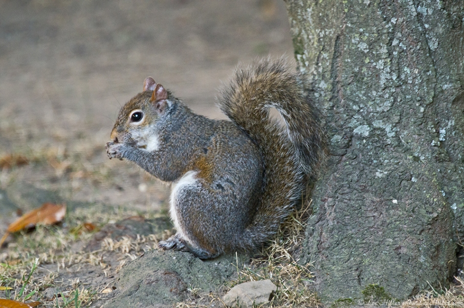 HSNP Arlington Lawn Squirrel