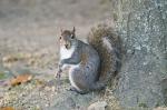 HSNP Arlington Lawn Squirrel