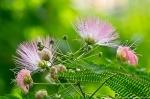HSNP Promenade Forest Mimosa