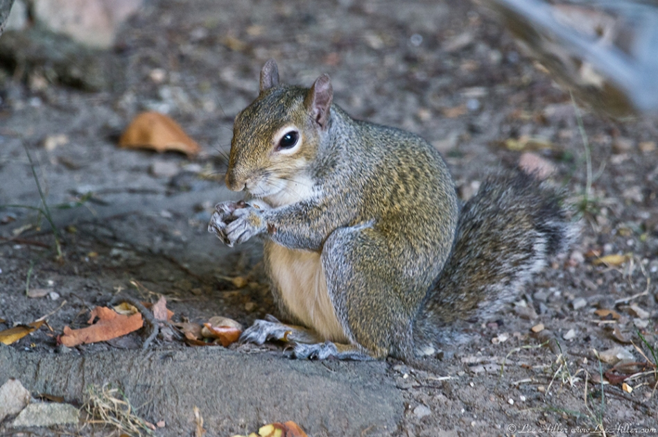 HSNP Arlington Lawn Squirrel (Bob)