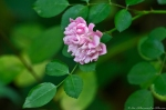HSNP Fordyce Ricks Pond Pink Tea Rose