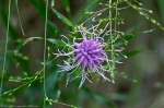 HSNP West Mt Canyon Trail Ouachita Blazing Star