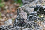 HSNP Tufa Terrace Trail Spring Mourning Dove