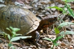 HSNP Dead Chief Trail Ornate Box Turtle
