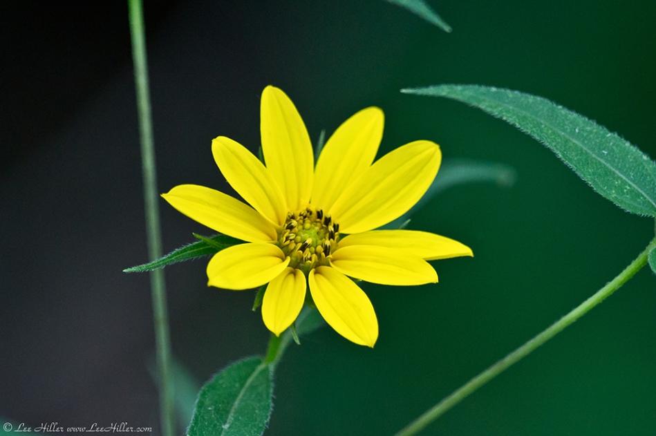 HSNP Dead Chief Trail Stiffhaired Sunflower