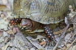 HSNP West Mt Top Trail Ornate Box Turtle