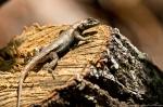 HSNP Gulpha Gorge Trail Male Prairie Lizard
