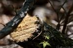 HSNP Gulpha Gorge Trail Pregnant Prairie Lizard