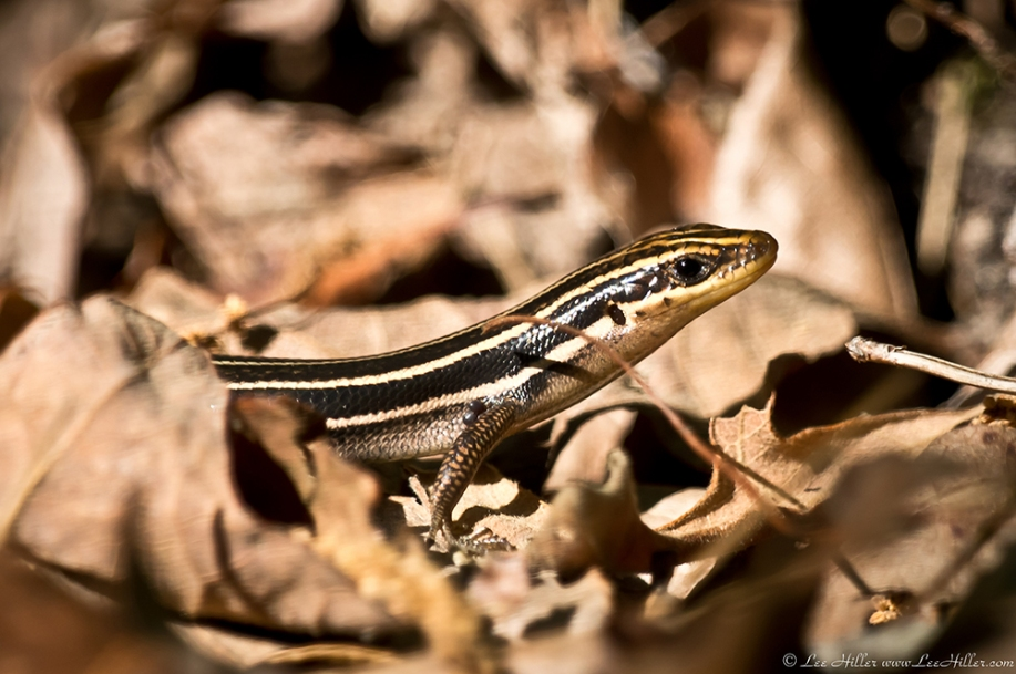 HSNP Sunset Trail Juvenile Common Five-Lined Skink