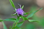 HSNP Hot Springs Mountain Trail Ouachita Blazing Star