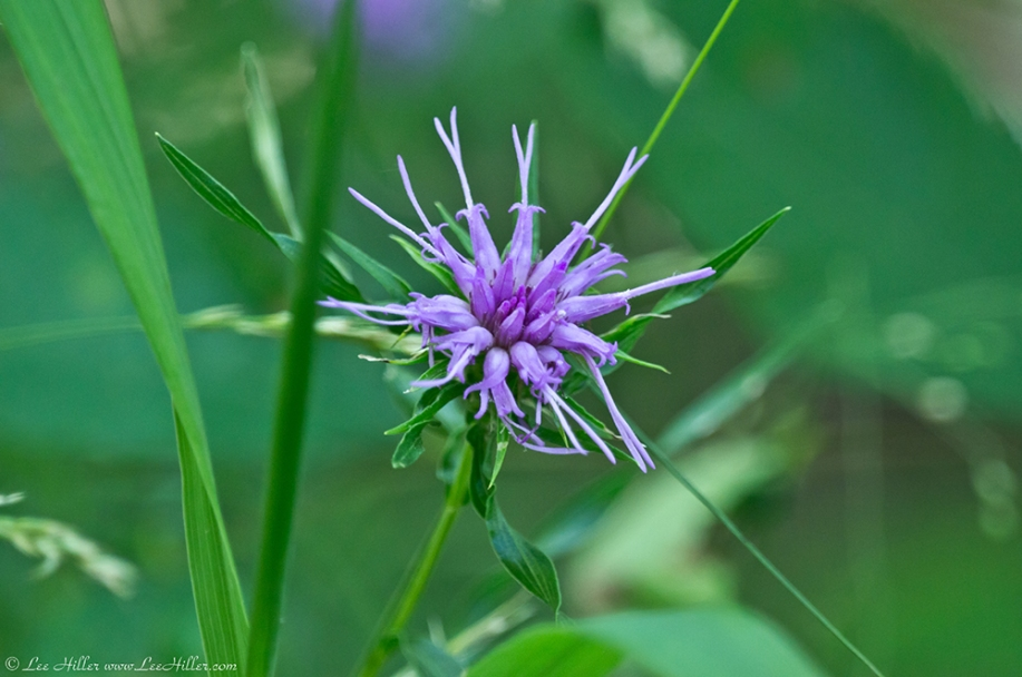 HSNP Hot Springs Mt Trail Ouachita Blazing Star