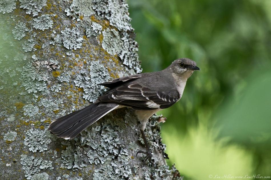 HSNP Promenade Mockingbird