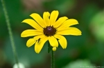 HSNP Hot Springs Mountain Trail Black Eyed Susan