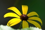 HSNP Sunset Trail Black-Eyed Susan