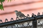HSNP Promenade Mockingbird Baby
