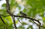 HSNP Hot Springs Mountain Trail Carolina Chickadee