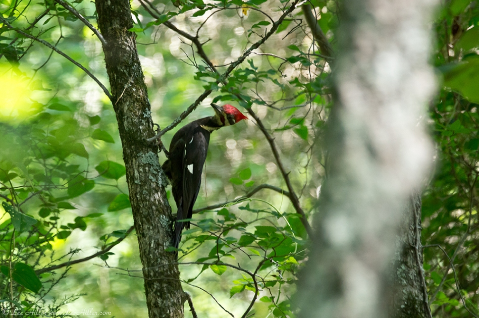 HSNP Hot Springs Mt Trail Pileated Woodpecker
