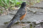 HSNP Hot Springs Mountain Road American Robin